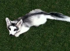 :D wonderful :) A Canadian Marble Fox