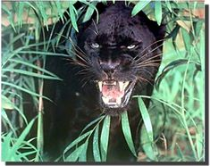 Angry Face Pictures, Le Cri, Black Jaguar, Black Puma, Animal Posters, Poster Wall, Black Panther, Safari, Wall Art
