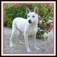 Roxanne is an adoptable White German Shepherd Dog in Glendale, AZ. DOB: 3/15/12 Spayed Female Breed: White Ger. Shepherd/Jack Russell Terrier mix Weight: 33.0 lbs. Hi, my name is Roxanne!� I was surre...