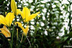 写真 ユリ 202001 蒸し暑い初夏 My Works, Plants, Flora, Plant