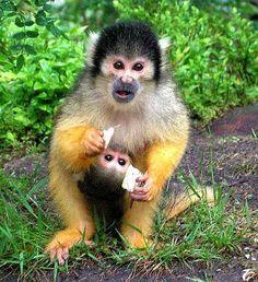 Apenheul, nosy monkey | ik werk op het moment bij de apenheul