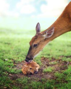 The cutest baby deer 🦌 Photo by O cervo bebê mais fofo 🦌 Foto de Cute Creatures, Beautiful Creatures, Animals Beautiful, Nature Animals, Animals And Pets, Cute Baby Animals, Funny Animals, Deer Photos, Baby Deer
