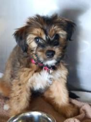 Zinnia is an adoptable Briard Dog in Atlanta, GA. Are you looking for a sweet and playful dog to spend your days adoring