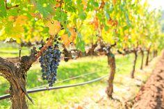 Beringer Vineyards - Napa Valley