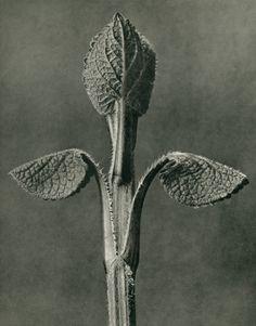 <Karl Blossfeldt, Aristolochia clematitis (Birthwort), © Karl Blossfeldt Archiv / Stiftung Ann und Jürgen Wilde, Pinakothek der Moderne, München