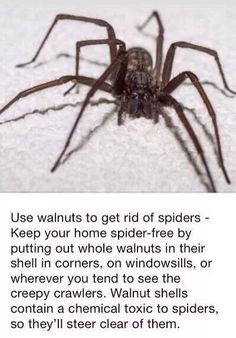 Walnut shell will keep spiders away Keep Spiders Away, Get Rid Of Spiders, Natural Spider Repellant, House Spider, Insecticide, Bed Bug Bites, Walnut Shell, Insect Repellent, Insects