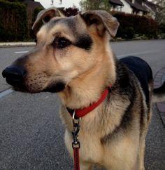 Schäfer-Mischling Rex Leider nicht mehr unter uns – schaut zu euren besten Freunden, sie fehlen schnell! #Hundename: Rex / Rasse: #Schäfer-Mischling      Mehr Fotos: https://magazin.dogs-2-love.com/foto/schafer-mischling-rex/ Foto, Hund