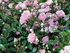 Ruusu The Fairy Suosittu, erittäin runsaskukkainen maanpeiteruusu. Kukat kerrotut, vaaleanroosat, Ø 2-4 cm. Tiheä ja leveä kasvutapa, korkeus 50 cm, leveys 90 cm. Garden Inspiration, Plants, Flower Garden, Floral, Flowers, Rose