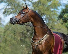 Infinity RCA, bay Egyptian Arabian stallion, (Bellagio RCA x Kamil FA by Thee Infidel) at Arabians Ltd in Waco, Texas #bellagiorca