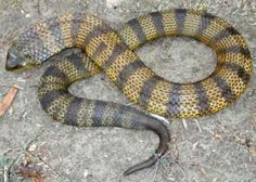 Found in Australia, the Tiger snake has a very potent neurotoxic venom. Death can occur within 30 minutes, but usually takes 6-24 hrs. Prior to the development of antivenin, the fatality rate from Tiger snakes was 60-70%. Symptoms can include localized pain in the foot & neck region, tingling, numbness, sweating, followed by a rapid onset of breathing difficulties & paralysis. The Tiger snake will become aggressive when cornered. It strikes with unerring accuracy.