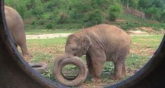 Elephants Discover a Whole New Use for Tires