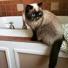 What the hell are you doing to my water bowel? #Derthecat... Follow us on Instagram :D #cats #cat #catlover #lovecats #funny #fun #cute #socute #feline #felines #felinefriend #fur #furry #paw #paws #kitten #kitty #kittens #kittycat #kittylove #fluffy #fluff