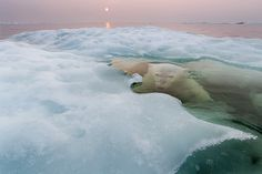 Paul Souders | WorldFoto: 2013 BBC Wildlife Photographer of the Year – Animals in Their Environment
