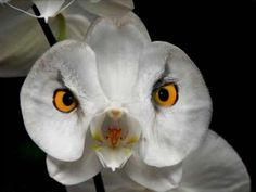 "The Owl Orchid - another ""Moth"" Phalaenopsis orchid. It that real. Weird Plants, Unusual Plants, Rare Plants, Exotic Plants, Strange Flowers, Unusual Flowers, Rare Flowers, Amazing Flowers, Rare Orchids"