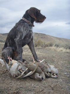 German Wirehaired Pointer ~ Classic Look ~ Three Devils Kennel