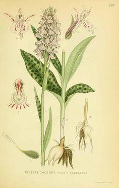 131655 Dactylorhiza maculata (L.) Soó [as Orchis maculata L.]  / Lindman, C.A.M., Bilder ur Nordens Flora, vol. 2: t. 399 (1922-1926)