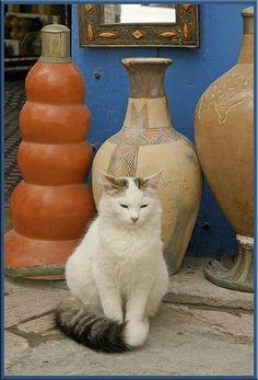 Moroccan street cat