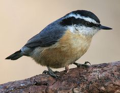 File:Red-breasted-Nuthatch-3c.jpg