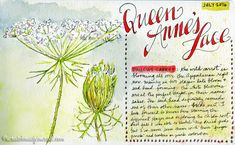 Tips on sketching & painting wildflowers along with identification tips - scratchmadejournal.com -