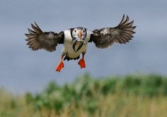 The 15 Perfectly Timed Photos of Animals Hunting For Food Puffins Bird, Perfectly Timed Photos, Animal 2, Bird Pictures, Cute Baby Animals, Wild Animals, Bird Feathers, Beautiful Birds, Animal Photography