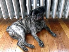 Brindle pug - I've never seen one of these