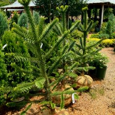 Monkey puzzle trees. A cool rare tree for sale at Southbranch.