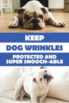 Searching for a dog grooming product that targets tear stains, wrinkles and stinky tail pockets as part of your wrinkly Bulldog's skin care maintenance? Use this wrinkle cream to control infection and smell. Your English Bulldog never smelled so good with wrinkle paste! #squishface #bullies #petproducts #healthydog #doggrooming