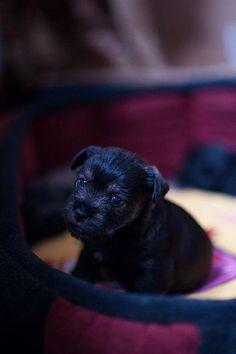 rottweiler great dane mix puppies for sale Zoe Fans Blog