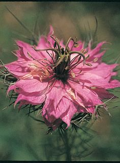 Love In A Mist Mulberry Rose  Nigella damascena  (Code: S632)    Feathery foliage and delicate flowers. Ornamental balloon shaped seed heads after flowering. Beautiful rosy pink flowers.