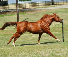 Fly The Red Eye - quarter horse stallion All The Pretty Horses, Beautiful Horses, Animals Beautiful, American Quarter Horse, Quarter Horses, Majestic Animals, Majestic Horse, Cowboy Horse, Horse Photos