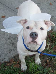GONE RIP - 09/27/13 Brooklyn Center SHARRON A0979239 Female white pit bull mix 10 MONTHS  Sharron is a family pet who dearly wants to be back in a home setting, but Brooklyn ACC plans on killing her tomorrow afternoon. Sharon is said to be good with CATS and DOGS :) She is on the PUBLIC list. Work quickly to find Sharron's rescue angel tonight, or she will spend her last fearful moments wondering where her people are and why they never came to save her
