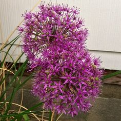 My alliums are blooming!  Copyright © 2014 Tofu Fairy's Brain Pile - All Rights Reserved