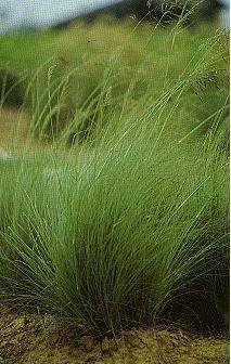 weeping love grass-- self-seeking liberally. Can be flattened by heavy rains and winds Full Sun Garden, Lawn And Garden, African Love, Low Maintenance Garden, Water Wise, Ornamental Grasses, Pool Landscaping, The Great Outdoors, Shrubs