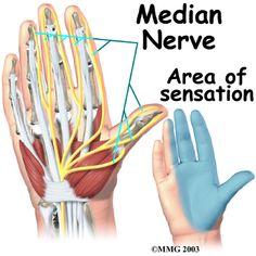 wrist anatomy showing median nerve