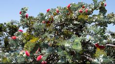 Eucalyptus macrocarpa - Buscar con Google