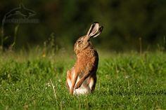 european hare, lepus europaeus, zajíc polní