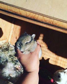#mybabies #adorable #bunny #baby #instabunnies #rabbits #netherlandsdwarf #tiny #small #pets #lovemypets #bunnylove #tagspormegustas #likesforlikes by luvzanimals