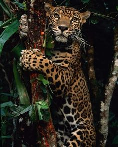 A jaguar named Boo by Steve Winter - Animals - Katzen Nature Animals, Animals And Pets, Baby Animals, Cute Animals, Wild Animals, Exotic Animals, Majestic Animals, Animals Images, Beautiful Cats