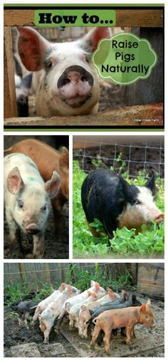 raise pigs naturally Before we started to raise pigs naturally, we discussed what that would mean on our farm. Since then, many litters of piglets have arrived, showed off how cute they can be, were weaned, fed for a few weeks, or even months in some cases.