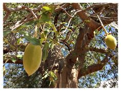 For the last 10 years, every February or March, I go out on a research field trip to do some baobab fruit monitoring. Research Field, Baobab Tree, Eco Products, Conservation, 10 Years, February, Fruit, Plants, Planters