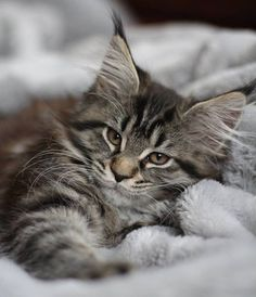 Okla-Homa, almost 11 weeks for her I Love Cats, Big Cats, Crazy Cats, Cute Cats, Kittens Cutest, Cats And Kittens, Newborn Kittens, Maine Coon Kittens, Kitten Care