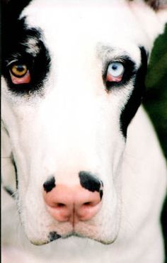 according to a Native American myth, dogs with different colored eyes can see both heaven and earth.