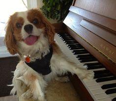 """Session de piano avec Dharma le Cavalier King Charles en préparation de son prochain album """"Dog Side Of The Moon""""!"""