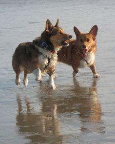 The Daily #Corgi: Thursday Adoptables Happy Ending: Max and Rosie Corgian of California!