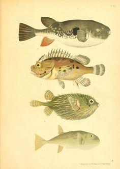 Petr Nikolaevich Savchenko | Atlas des poissons vénéneux; descriptions des ravages produits par eux sur l'organisme humain, et des contre-poisons à employer (1886)