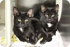 Philadelphia, PA - Domestic Shorthair. Meet Endora, a kitten for adoption. http://www.adoptapet.com/pet/18538961-philadelphia-pennsylvania-kitten