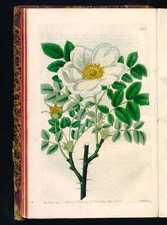 Rosa grandiflora. Large-flowered Scotch Rose. - The Botanical register - 1827