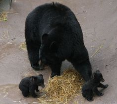Newly born black bear cubs Chief and Holly frolicked under the watchful eye of their proud mother and to the delight of visitors at Ober Gatlinburg's Wildlife Encounter.  Welcome to the Smoky Mtns.  Availability & Rates for cabins in real time are on website 24/7, as well as contact info. #smokymountains #vacationrental #cabinrental #smokymountainscabinrental #travel #mybearfootcabins #bookdirect #vacation #themountainsarecalling