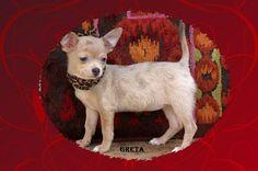 Chihuahua Puppy For Sale Near Mcallen Edinburg Texas 2a1116b4 0921 Chihuahua Puppies Chihuahua Chihuahua Puppies For Sale