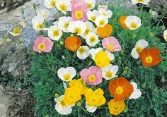 Klisaz Shop (Unique acessories and rare seeds): Jual Benih/Bibit/Seeds Alpine Mix Poppy, tanaman u...